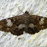 Noctuidae : Ophiderinae : Letis scops GUENÉE, 1832. Pitangui (MG, Brésil), 7 février 2013. Photo : Nicodemos Rosa
