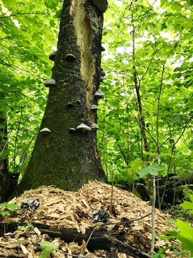 Busy woodpecker on a old birch tree