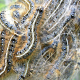 Eastern Tent caterpillars (solid white line down the back)