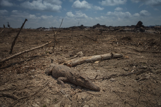 A dead alligator is a victim of Belo Monte dam construction. Amazon rainforest is burned by Norte Energia, a company outsourced by Belo Monte to clear the area that will become a lake after the Belo Monte dam is built. Monkeys, sloths, and numerous other species are slaughtered as the rainforest is cleared. Photo: Márcio Isensee e Sá