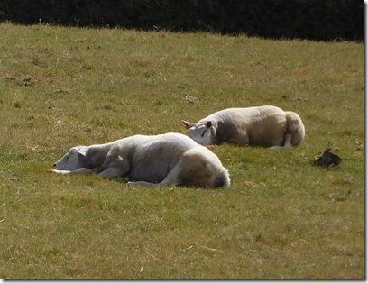 7 sleepy sheep