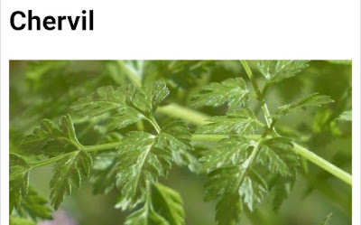 Chervil botanical name