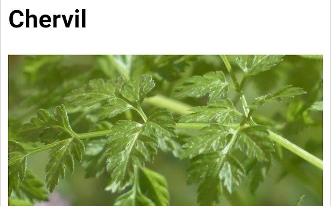 Botanical name of Chervil and its medicinal properties
