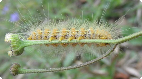 Hampton Tract - Caterpillar (3)