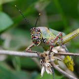 Orthoptère : Acrididae : Zonocerus variegatus LINNAEUS, 1758. Ebogo (Cameroun), 20 avril 2013. Photo : C. Basset