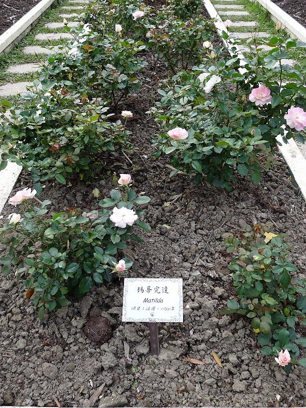 rosier provenant de France