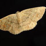 Geometridae : Ennominae : Caberini : Casbia farinalis ROSENSTOCK, 1885 (?). Umina Beach (NSW, Australie), 24 avril 2011. Photo : Barbara Kedzierski