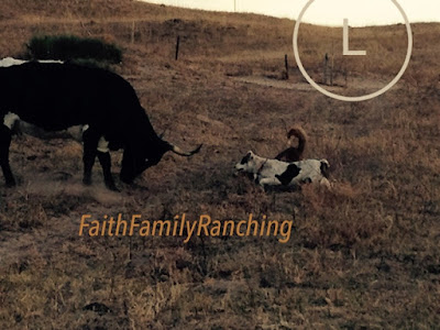 Cow, Cow Dogs, Blog, Ranch Life