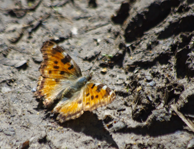 Nymphalis polychloros (L., 1758). Les Hautes-Lisières (Rouvres, 28), 14 avril 2015. Photo : J.-M. Gayman