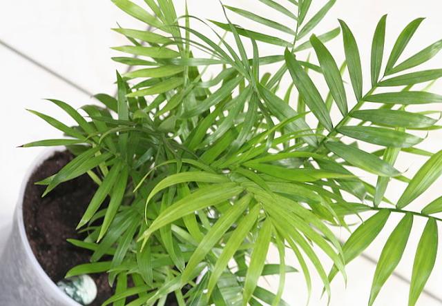 Cara Menanam Komodoria atau Palem Bambu