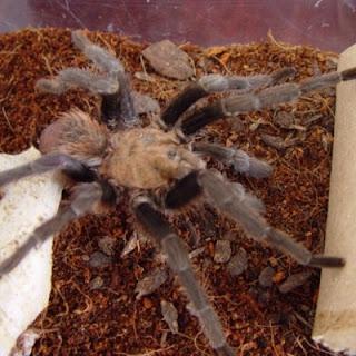 Aphonopelma hentzi Oklahoma Brown Tarantula