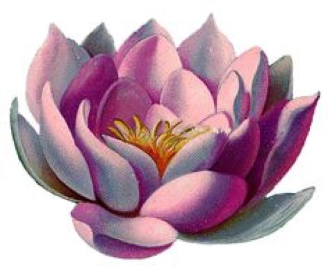 Renovacion Saludable Significado De Flor De Loto