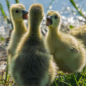 You did, too! by Mary Lane Anderson - Animals Birds ( babies, gosling, canada, alberta, backlight, canada geese, spring, birds )