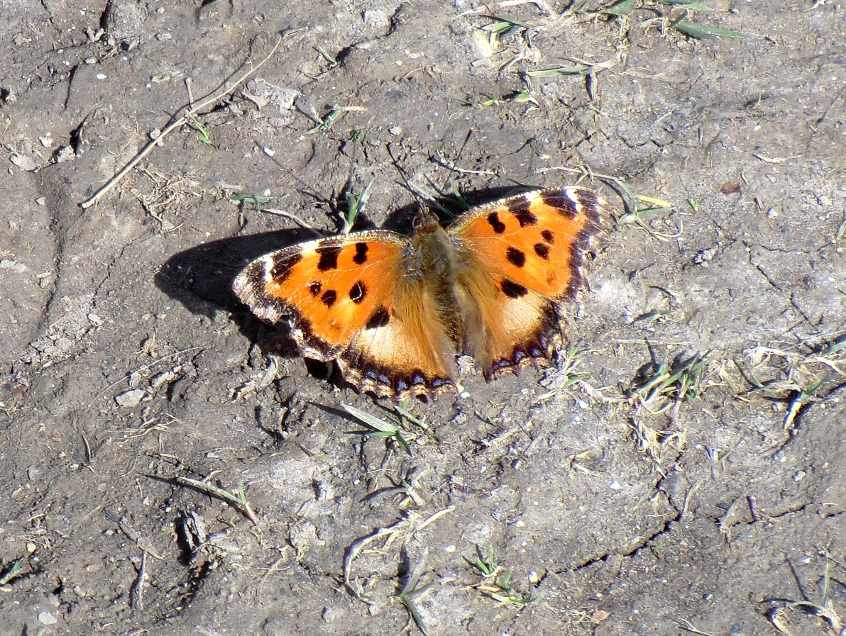CIMG7033 A small tortoiseshell ventures out in mid-March