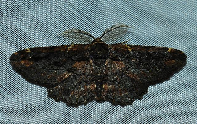 Geometridae : Ennominae : Boarmiini : Pholodes sinistraria GUÉNÉE, 1857, mâle. Umina Beach (N. S. W., Australie), 27 décembre 2011. Photo : Barbara Kedzierski