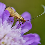 Adelidae : Nemophora metallica (PODA, 1761). Les Hautes-Lisières (Rouvres, 28), 16 juillet 2013. Photo : J.-M. Gayman