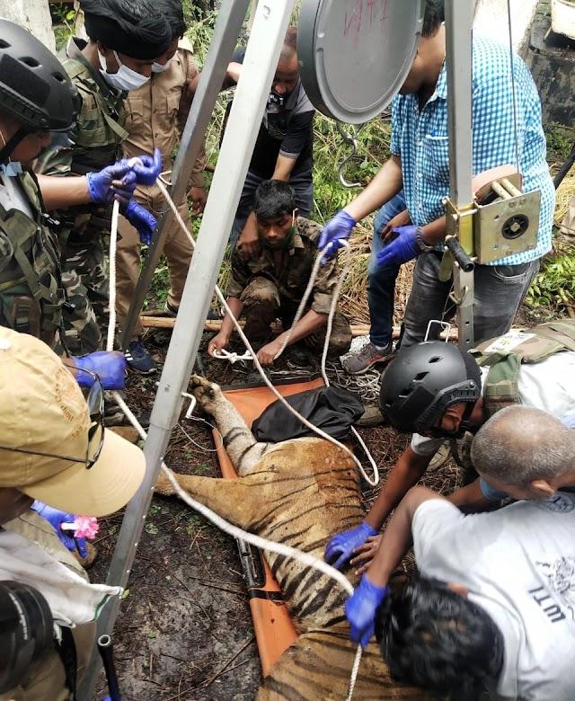 आतंक का पर्याय बनी शर्मीली बाघिन वन विभाग की गिरफ़्त में , जानिए आतंक की दास्तां