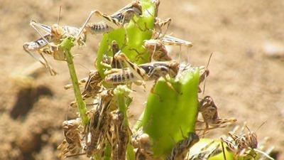 Locust-Damage