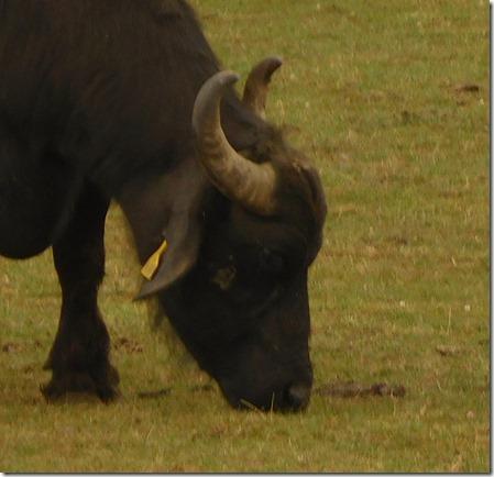 10 buffalo