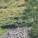 Bramito del cervo - Val Grande  28 settembre 2014