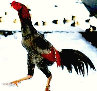 Ayam Dari Thai.JPG