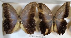 C.EURILOCHUS.JPG