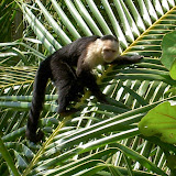 Mammals - Costa Rica - White-faced%2BCapuchin.jpg