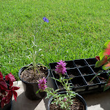 Gardening 2010, Part Three - 101_4984.JPG