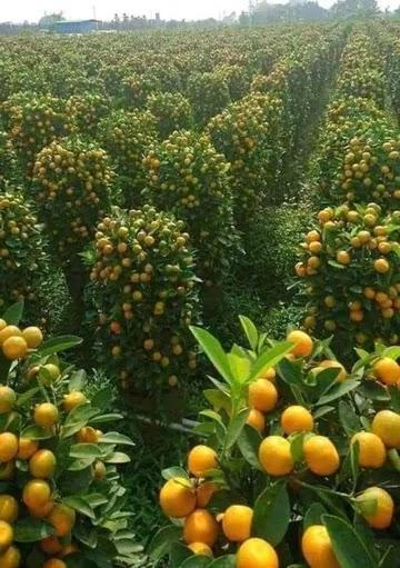 orange tree 🌲