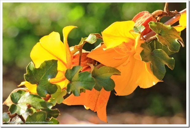 160321_SLOBG_0045_Fremontodendron-Pacific-Sunset