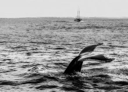 Γκρίζα φάλαινα εθεάθη πριν λίγες μέρες για πρώτη φορά στα γαλλικά παραλία της Μεσογείου