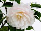 淡桃色地 花底は桃色 八重 蓮華性 散り性 雄しべは無い 中〜大輪
