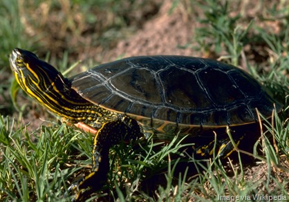 Western_painted_turtle