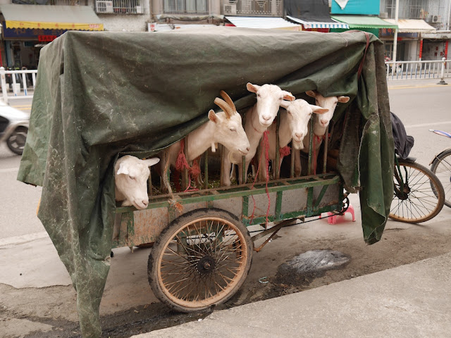 five goats on an electric tricycle cart in Jieyang