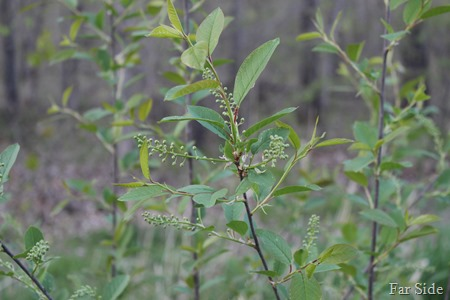 Chokecherry buds