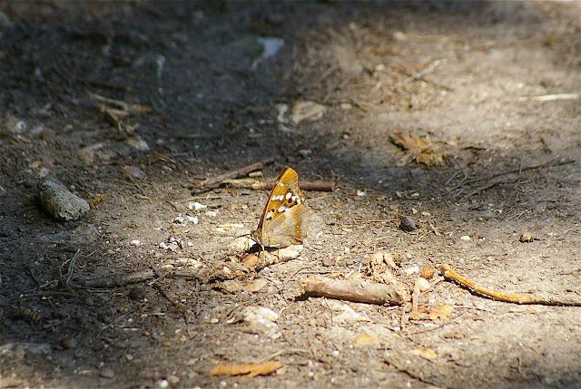 Apatura ilia (Denis & Schiffermüller, 1775), mâle. Hautes-Lisières, 7 juillet 2010. Photo : J.-M. Gayman