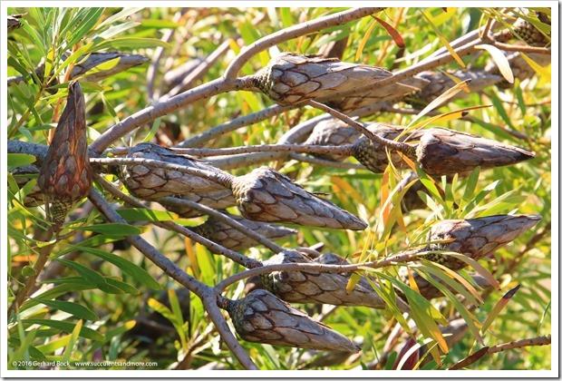 160813_UCSC_Arboretum_Protea-repens_001