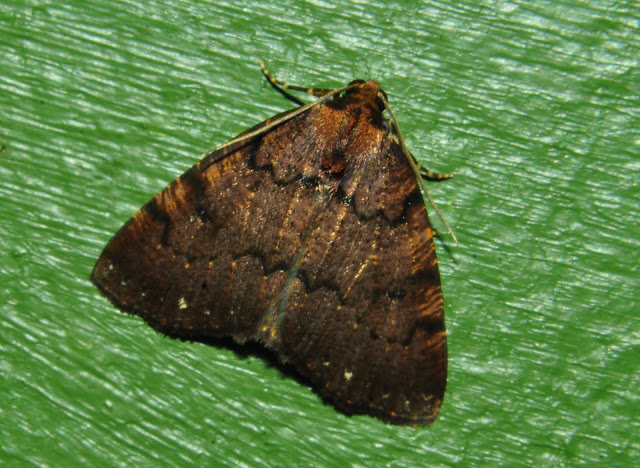 Geometridae : Ennominae : Nacophorini : Cryphaea xylina TURNER, 1917. Umina Beach (New South Wales, Australie), 19 mai 2011. Photo : Barbara Kedzierski