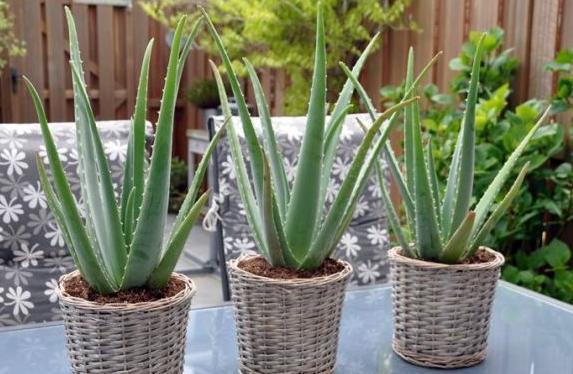 Lidah Buaya (Aloe Vera) Tanaman Dalam Ruangan Anti Racun