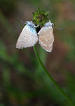 Engblåfugl, semiargus - parring.jpg