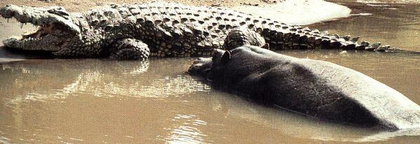 Questões e Fatos sobre Crocodilianos gigantes: Transferência de debate da comunidade Conflitos Selvagens.  - Página 2 Hippo1