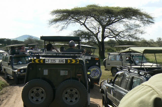 Cluster     of safari trucks spotting a leopard