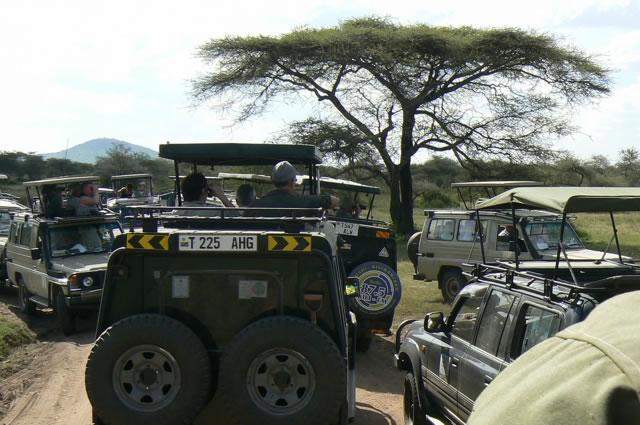 Cluster     of safari trucks spotting a leopard