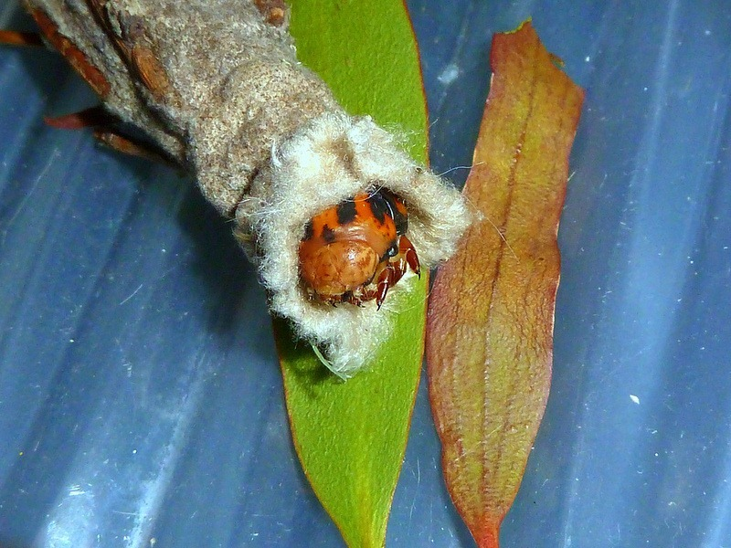bagworm-moths-case-8