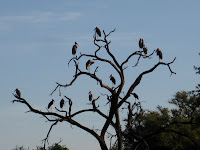 Maribou storks in a tree - Linyanti Concession (Chobe Region)