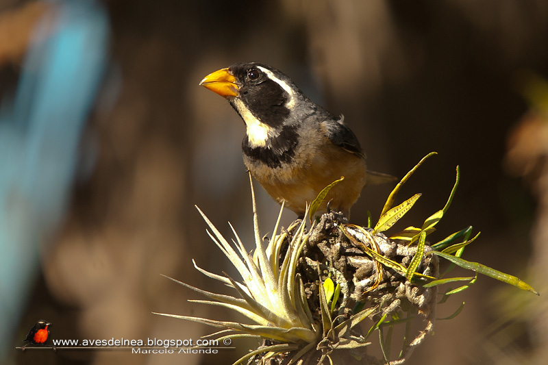 Pepitero de collar (Golden-billed Saltator)