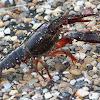 "Texas ""Red Swamp"" Crayfish"