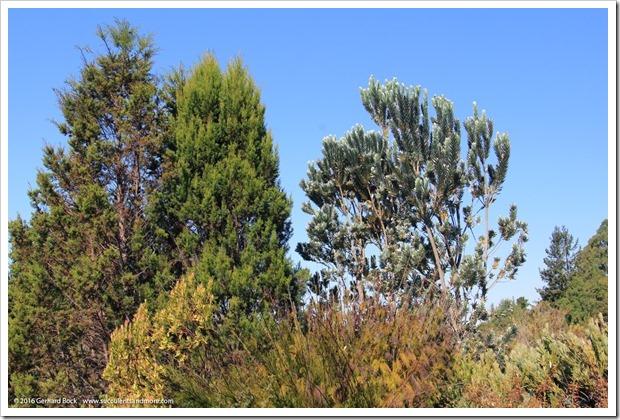 160813_UCSC_Arboretum_Leucadendron-argenteum_007