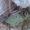 Silvergreen Byrum Moss