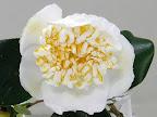 白色 一重 唐子咲き 中輪